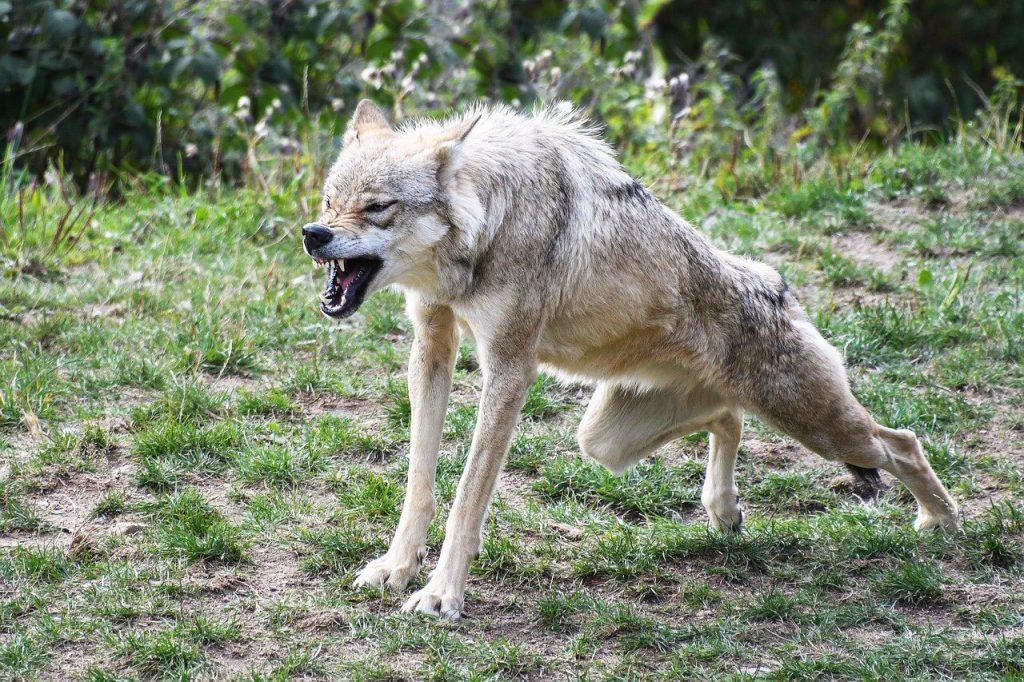 in bocca al lupo