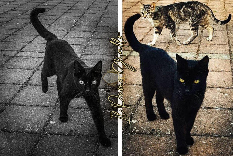 Il gatto nero porta sfortuna? Dipende dal Paese.